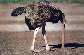 Ostrich-large